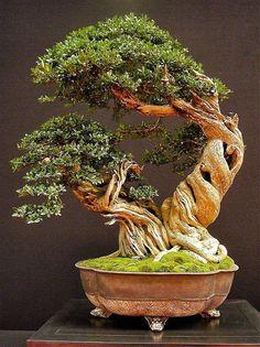 Bonsai… Olive type.