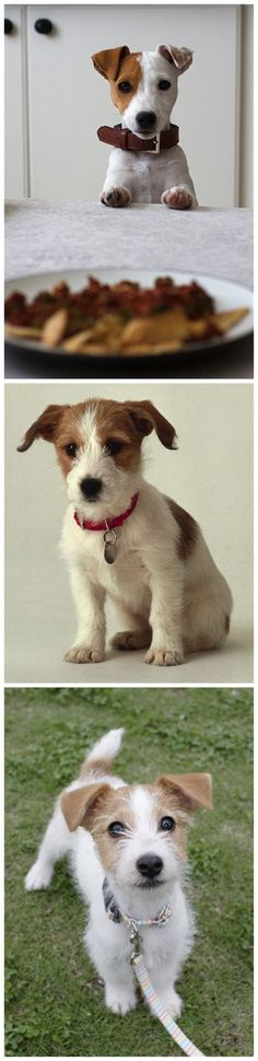 Dogs » 20 Jack Russell Terrier Dogs Photos You Will Love » ❤️ More Ideas: http://fallinpets.com/jack-russell-terrier-dogs-photos-will-love/