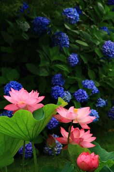 """Lotus flowers and hydrangea of Touji temple Kyoto 🇯🇵"" Rock Flowers, Exotic Flowers, Pretty Flowers, Wild Flowers, Beautiful Roses, Beautiful Gardens, Japanese Flowers, Water Lilies, Ikebana"