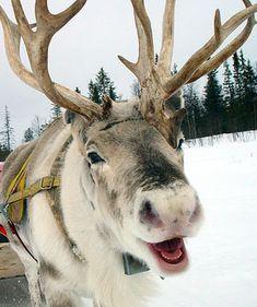 reindeer smile