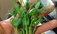 Did you know that PEA SHOOTS MICROGREENS have a sweet pea-like flavour? They can be used in cold or hot dishes, steamed, stir-fried, and blanched, which make them a good substitute for peas in your recipes.  They are delicious with vegetables such as corn, eggplant, cucumber, and mushrooms. PEA SHOOTS MICROGREENS have lots of nutrients: Biotin, Copper, Chrome, Niacin / Vitamin B3, Riboflavin / Vitamin B2, Thiamine / Vitamin B1, Vitamin C, Calcium, and Selenium. Niacin Vitamin, Micro Farm, Organic Seeds, Biotin, Superfood, Stir Fry, Eggplant, Cucumber, Stuffed Mushrooms