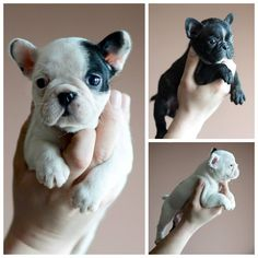 Source: batpigandme.tumblr.com  Puppies are a handful… http://ift.tt/260ghGd on Frenchie Friends Being Fuzzy via