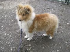 The Shetland Sheepdog originated in the and its ancestors were from Scotland, which worked as herding dogs. These early dogs were fairly sm Chihuahua Puppies, Cute Puppies, Cute Dogs, Dogs And Puppies, Doggies, Animals And Pets, Baby Animals, Cute Animals, Shetland Sheepdog Puppies