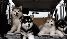 """tastefullyoffensive: """"Malamute puppies struggling to comprehend music. [video] """""""
