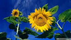HD Sunflowers Wallpapers Top Best HD Wallpapers for Desktop