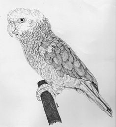 Sally Blanchard Pen and Ink Drawing Double yellow-head Amazon (Shading is in the scan and not on the drawing)