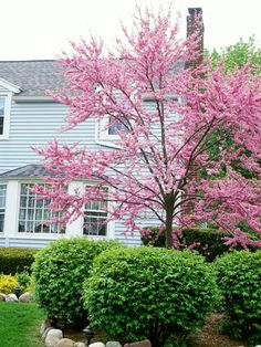 Redbud  ~ tiny flowers garland the bare branches in spring  ~ heart-shaped leaves
