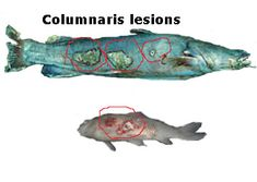 1000 images about aquarium medications disease on for Fishing eye syndrome