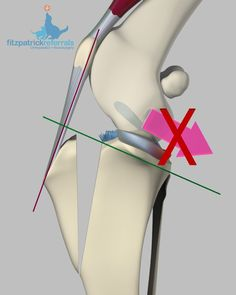 What is the cranial cruciate ligament? Trauma to the equivalent ligament in…