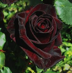 Black Baccara - Colin Gregory Roses Ltd, Lincolnshire Dark Red Roses, Dark Flowers, Garden Trees, Trees To Plant, Black Baccara Roses, Black Rose Flower, Rare Roses, Gothic Garden, Beautiful Rose Flowers