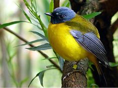A pretty little blue and yellow bird on a branch