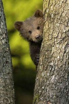 Brown Bear Cub: :Peek-a-boo! Cute Baby Animals, Animals And Pets, Funny Animals, Baby Pandas, Wild Animals, Love Bear, Big Bear, Beautiful Creatures, Animals Beautiful