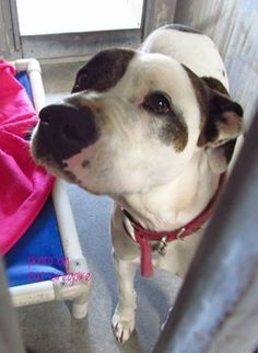 """((SUPER URGENT)) """"Vegas"""", a 5yr old pit bull mix w/ soft brown soulful eyes  a beautiful coat was left at busy kill shelter by her owner (for no fault of her own). She becme very quiet  subdued today, which could mean she's getting sick or shutting down. Just look at her sweet, but sad face. She desperately needs your help to get out ASAP!!! PLS SHARE/HELP SAVE THIS SWEET GIRL!! Baldwin Park"""