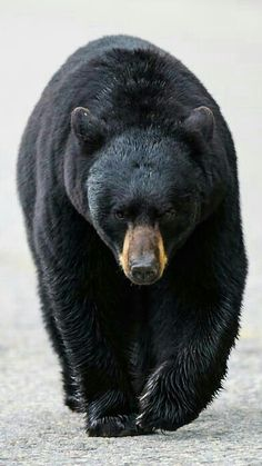 Big Black Bear!