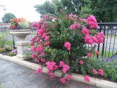 Plum Magic Crape Myrtle on Sale | The Planting Tree