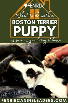 Collecting your Boston Terrier puppy but not sure what to do when you get it home? Check out our lastest upload looking at the top things to do as soon as your puppy gets home! More awesome dog information at Fenrir Canine Show and Fenrir Canine Leaders. Terrier Dog Breeds, Boston Terrier Dog, New Boston, Dog Information, Medium Sized Dogs, Dog Care, Training Tips, Small Dogs, Best Dogs