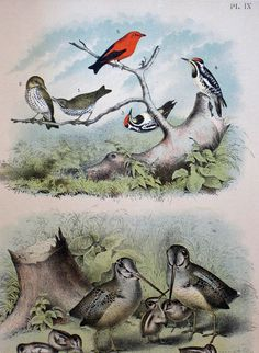 Gorgeous Vintage Birds Large Print 14 3/4 x 12 c.1895
