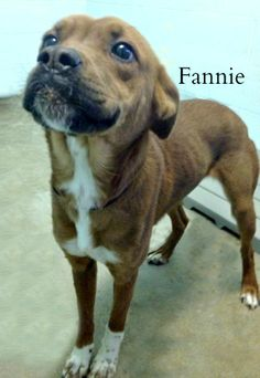 ADOPTED!! Boxer & Beagle Mix • Young • Female • Medium Jackson County Dog Pound Jackson, OH. Fannie is a beautiful friendly young girl around 2 years old.