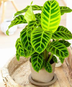 patterned plants: Rhythm of Nature® Calathea zebrina (Zebra Plant) Peacock Plant, Zebra Plant, Inside Plants, Cool Plants, Tropical Garden, Tropical Plants, Outdoor Plants, Garden Plants, Calathea Plant
