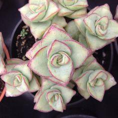 Succulent plant String of Buttons/ Crassula by SuperSucculentShop, $5.25