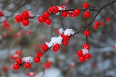 Résultats de recherche d'images pour « WINTER BERRIES » Christmas Berries, Winter Berries, House Design, Seasons, Red, Image, Decor, Snow, Decoration