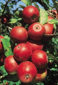 """Red Stayman Winesap Semi-Dwarf Apple   This variety is a Triploid and will not pollinate other varieties. Two other varieties that are not Triploids are needed for proper pollination. Plant semi-dwarf trees 15-20' apart. Mature height 10-12'.  """"Winesap (Stayman Double Red Winesap) Pollen-sterile, pollinated by honeycrisp, orange pippin, macintosh and others"""