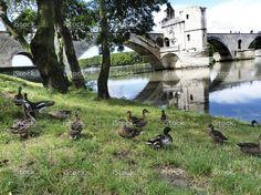 Mallards near the bridge of Avignon, France stock photo 72881387 - iStock