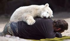 A triste história do urso Knut, do seu tratador e o estudo de uma doença cerebral