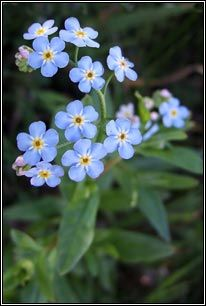 Irish Wildflowers - Water Forget-me-not - May - October