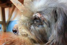 Pemphigus in dogs Lupus In Dogs, Discoid Lupus Erythematosus, Hemolytic Anemia, Fluid And Electrolytes, Dog Health Tips, Dog Information, Hypothyroidism, Autoimmune Disease, Skin Treatments