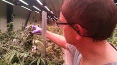 Medical marijuana harvest a first for P.E.I.