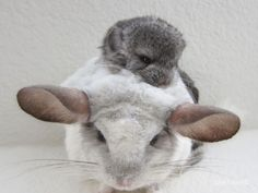 Very cute Baby chinchilla and Mom..!!!