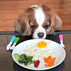Eggs and Vegetables, too? Maybe the eggs... Cavalier King Charles Spaniel, Indiana