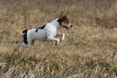 Rat Terriers are athletic