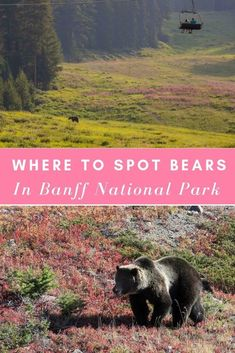 What's Banff's best kept summer secret? Grizzly bear viewing from Lake Louise gondola! #Banff #BanffCanada #BanffNationalPark #BanffPhotography #BanffCanadaSummer #Canada #CanadaTravel #BanffPictures #GrizzlyBear #LakeLouise