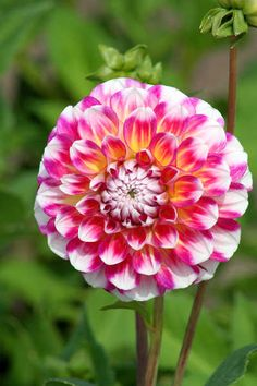 Dahlia 'Hawaii' #dahlias #flowers Feed your plants with GrowBest from http://www.shop.embiotechsolutions.co.uk/GrowBest-EM-Seaweed-Fertilizer-Rock-Dust-Worm-Casts-3kg-GrowBest3Kg.htm