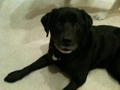 Clark is an adoptable Labrador Retriever Dog in Warrington, PA. Hi! My name is Clark! I am 8 years young and a beautiful petite black lab. My brother Lewis and I lived together for all 8 years with ou...