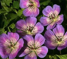 Another first, a hardy Geranium with flowers in three colors appearing over an unusually long season. Opening a creamy pink, the flowers soon develop a broad blue zone around a pink ring shading off to a white center, all prettily whiskered with dark veins. The backs of the flowers are boldly veined in deep pink. It's a truly delightful combination on plants with a mounding, spreading habit. Geraniums are ideal as a ground cover and billowing out of containers. 'Sweet Heidy' is another…
