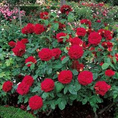 L. D. Braithwaite - Red - David Austin Roses