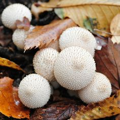Some puffballs are edible and great breadcrumbed and fried.
