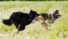 Alma and Bea Going fast Belgian Shepherd, German Shepherds, Good Buddy, Make You Smile, Corgi, Cute Animals, Fox, Puppies, Pets