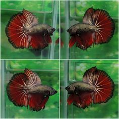 A world of gorgoues Betta Fish - Badass Betta Fish uploads gorgeous pins daily <3 ♥_________________________♥ Click the image and check out someFishy Awesome T-Shirts - Perfect gift for your fish loving friends ♥_________________________♥ Relevant hashtags/topics #Blue #betta #bluebetta #bluefighter #betta #femaleBetta #femaleBettaFish #betta #bettafish #fish #female #Bettas #fightingfish #siameseFightingFish #fighting #fish #Siamese #fighters #bettafish #BreedingBetta #redbetta #redfighter…
