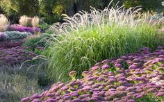 Low winter light shows off fluffy grasses such as Pennisetum orientale 'Tall Tails', with pink sedum in the foreground.