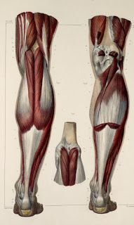 Exceptional Drawing The Human Figure Ideas. Staggering Drawing The Human Figure Ideas. Leg Muscles Anatomy, Leg Anatomy, Muscle Anatomy, Anatomy Study, Anatomy Drawing, Human Anatomy, Human Figure Drawing, Figure Drawing Reference, Anatomy Reference