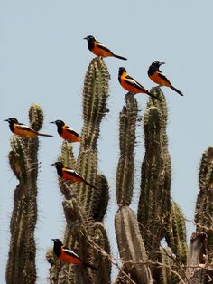 Flock of Trupial on Cacti