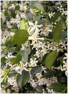 Fragrant confederate jasmine ... Nothing better than sitting out in the evening after a wonderful meal, having some coffee and good conversation, with the intoxicating fragrance of jasmine in the air!!  Ah! Life is good, y'all!!!