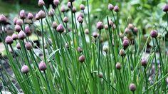 Pažitka je typická jarní zelenina, která, jakmile se oteplí, začne vystrkovat svá zelená tykadla ze záhonů nebo truhlíků. Vnímáme ji jako přízdobu pokrmů, je však léčivá jako cibule nebo česnek.