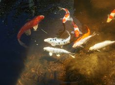 Happy koi in a pond created by Bosque Natural.