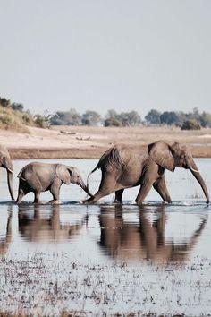 Botswana #tourismstrong ✅ 𝑰𝒏𝒃𝒐𝒙 𝒖𝒔 𝒇𝒐𝒓 𝑨𝑴𝑨𝒁𝑰𝑵𝑮 😎 𝒉𝒐𝒍𝒊𝒅𝒂𝒚𝒔 𝒂𝒏𝒅 𝒘𝒆𝒆𝒌𝒆𝒏𝒅 𝒈𝒆𝒕𝒂𝒘𝒂𝒚𝒔 ✅ Hit 👊 Like 👍 if you Love ❤️ to travel ✈️ #leisureonlayby #smartestwaytotravel #layby #interestfree #holiday #vacation #travel #weekend #lolnow #lol 𝑳𝒊𝒗𝒆 𝒂 𝒍𝒊𝒕𝒕𝒍𝒆 𝑳𝑨𝑹𝑮𝑬𝑹! Elephant Photography, Animal Photography, Travel Photography, Wildlife Photography, Elephant Theme, Elephant Love, Animals And Pets, Cute Animals, Wild Animals