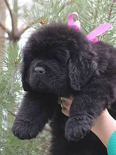Our male Newfie, Coda, looked like this when he was a young pup. (only without the pink ribbon). So cute!